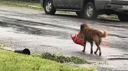 이 리트리버가 허리케인 피해 주민들의 희망이 된