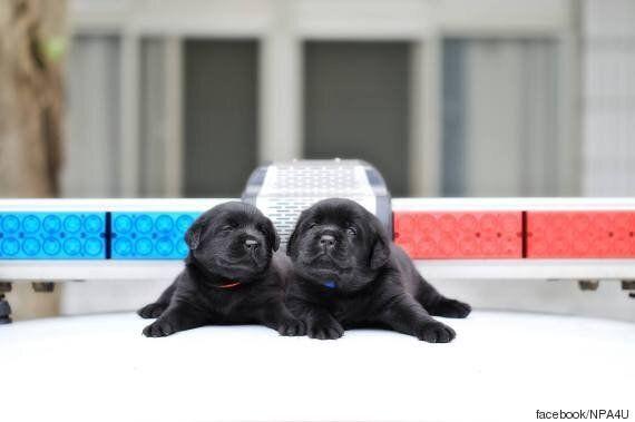 생후 한 달부터 경찰견 훈련을 받던 강아지들은 여전히