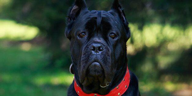 The dog breed italiano cane corso on a green