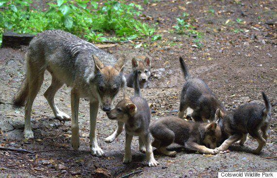 이 아빠 늑대가 혼자 새끼들을 키우게 된 비극적인
