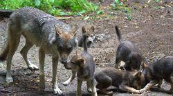 아빠 늑대가 혼자 새끼들을 키우게 된