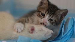 무서움이 없는 쥐가 고양이들을 보살피고