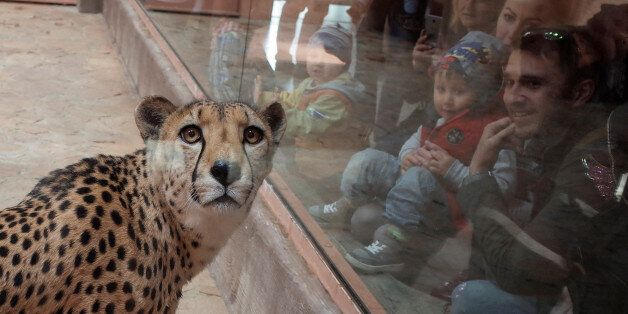 Visitors look at a cheetah, in a private zoo