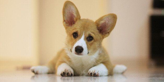 Corgi puppy with a curious