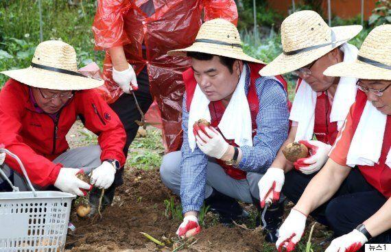 한국당 후보자들이 개표를 기다리며 감자밭에서 감자를 캔