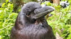 Vancouver's Beloved Knife-Wielding Crow Is