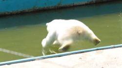 이 북극곰이 FIFA에 고용된 귀여운