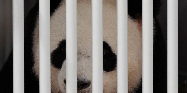 Jiao Qing, a panda bear, arrives at the Berlin airport in Berlin, Germany, June 24, 2017. REUTERS/Axel