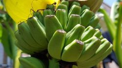 대구에 이어 광주에서도 9년전 심은 바나나가