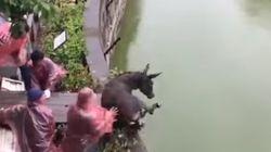 화난 동물원 주주들이 호랑이에게 산 당나귀를 먹였다