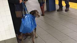 뉴욕 지하철이 대형견의 탑승을 막자 벌어진