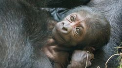 멸종 위기 종인 고릴라가 첫 새끼를 낳았다(사진,