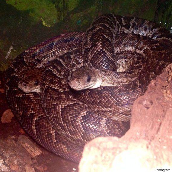 떼를 지어 사냥을 하는 뱀이