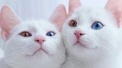 쌍둥이 오드아이 고양이들의 일상은