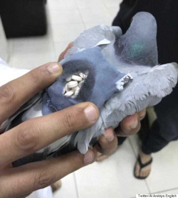 쿠웨이트에서 엑스터시를 밀반입한 비둘기가
