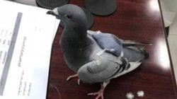 엑스터시를 밀반입한 비둘기가