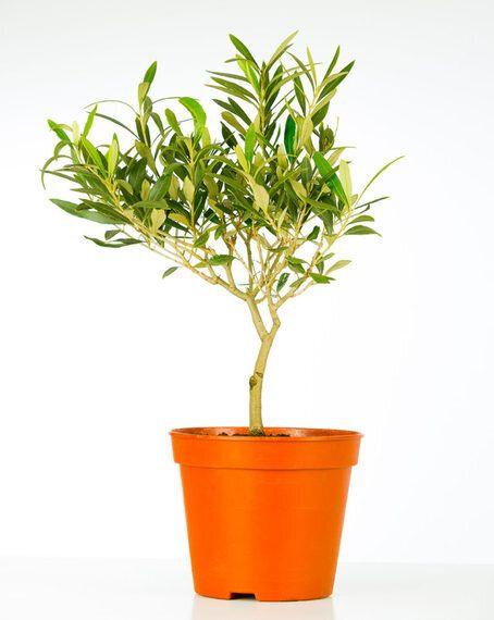 올리브 나무, 집에서 잘 기르면 이런 것들도
