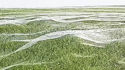 수천 마리의 거미가 '거미줄 파도'를