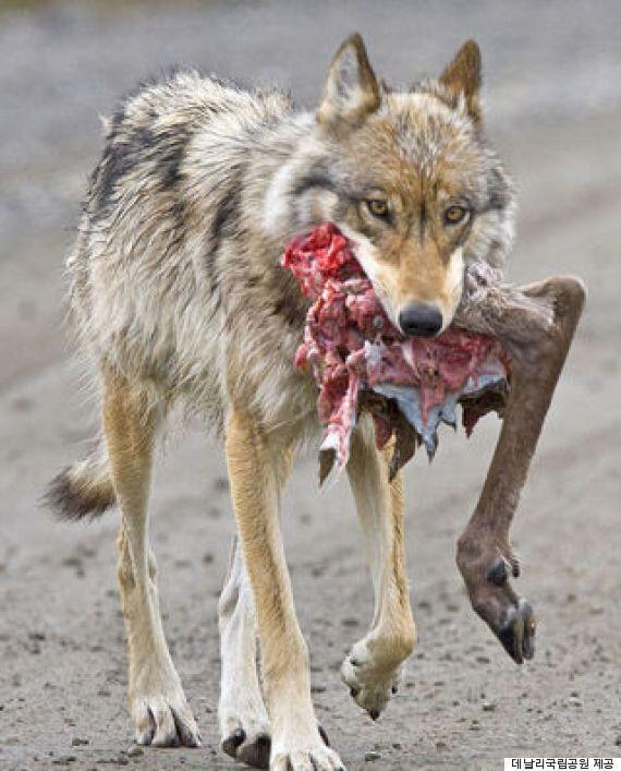'늑대가 개가 되고 있다'는 예측이