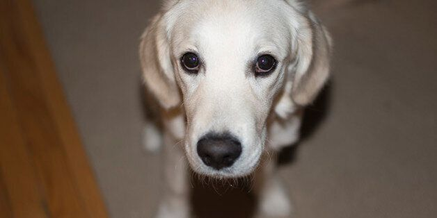 This was taken of our puppy Bailey who is an English Cream Golden