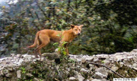 '살아있는 개의 화석'이라 불리는 뉴기니 고산개가 야생에서