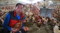 닭 5000마리가 '살처분' 위기에서