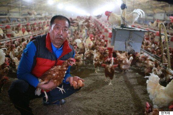 닭 5000마리가 '살처분'에서 구사일생으로 벗어난