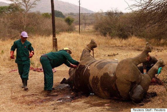 남아공에서 '코뿔소 뿔 농장'이 합법화됐다. 윤리 논란에 다시 불이