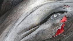 일본 선단이 '과학적 연구'라는 이름으로 333마리의 밍크 고래를