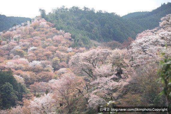 벚꽃 3만 그루가 빚어내는 핑크빛 파라다이스! 일본