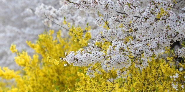 개나리와 벚꽃이 동시에 피는 '봄꽃 대혼란'의