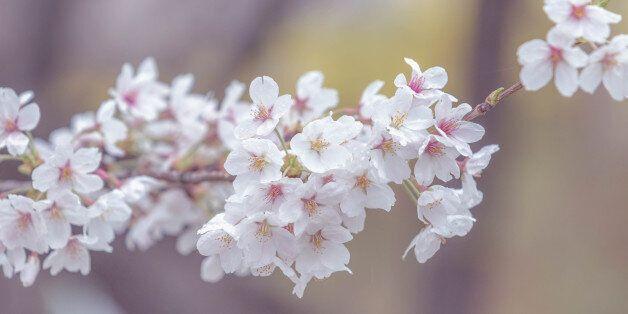 cherry blossom, spring