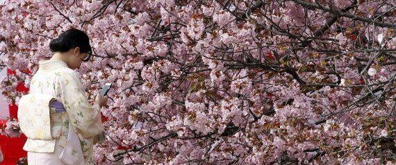 벚꽃만큼 아름다운 일본의 '등나무꽃'