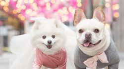 강아지 커플이 웨딩 화보를