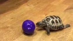 거북이(꽤 빠른)의 공놀이 모습보다 더 재미있는 건