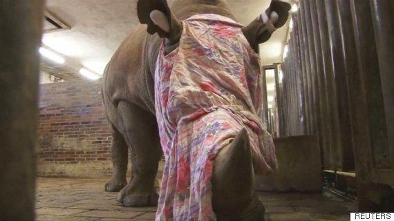 체코 동물원이 코뿔소의 뿔을 절단하고 있다. 그들을 살리기