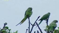 인도의 야생 앵무새들이 양귀비밭을 공격하고