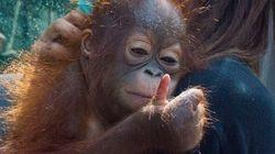 이 귀여운 아기 오랑우탄에게는 비극적인 사연이