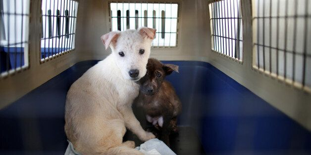 Rescued dogs are seen as they wait for transport, at a dog meat farm in Wonju, South Korea, January 10,...