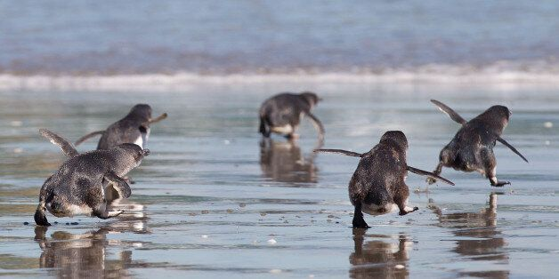 Little Blue Penguins runs towards the sea after being released by wild life workers and school children...