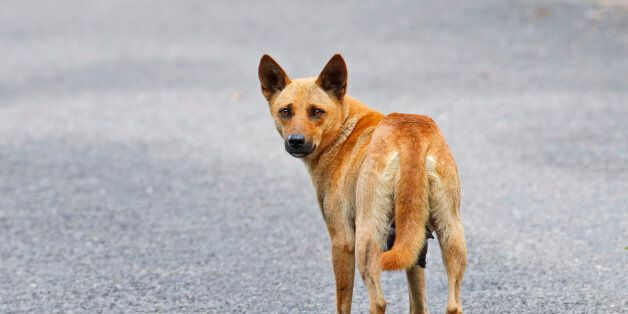 Brown Street Dog in