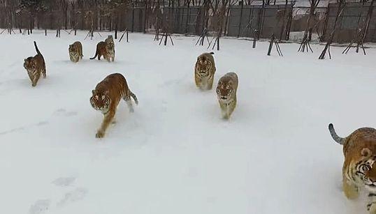 먹이를 사냥하는 호랑이떼의 모습이 드론으로