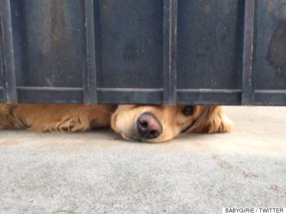 이 사랑스러운 강아지는 매일 대문 뒤에서 친구를