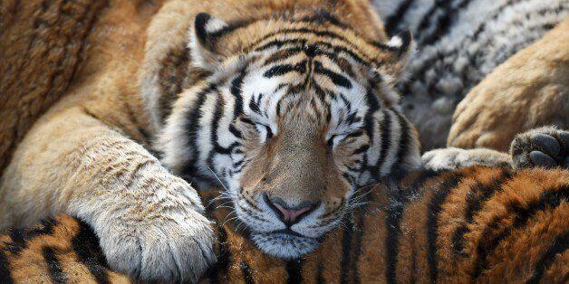 HARBIN, Feb. 10, 2017: Siberian tigers rest at a Siberian tiger park in Harbin, capital of northeast...