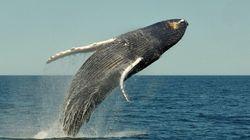 고래가 공중으로 솟구치는 이유가