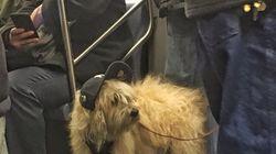 '힙스터' 강아지가 뉴욕 지하철을