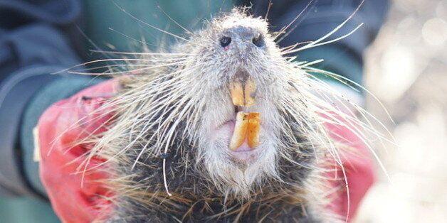 지난 15일 오전 경남 김해시 화목동 해반천 하류에 전홍용씨가 설치한 포획틀 안에 뉴트리아 한 마리가 잡혀