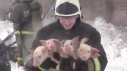 화재가 난 농장에서 150마리의 새끼돼지를