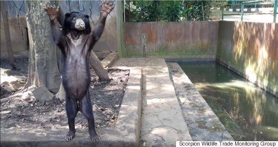 인도네시아의 동물원에서 굶어 죽어가는 곰들이