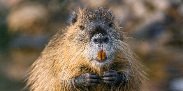 Picture of a nutria with joined hands, near the